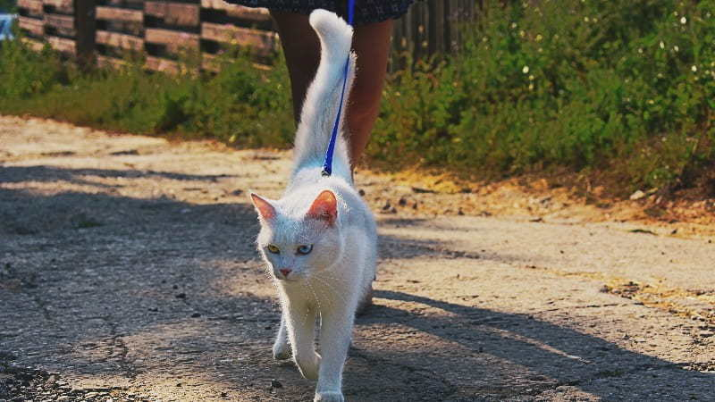 how to walk your cat with a leash or harness