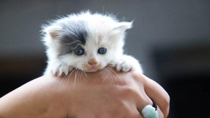Raising A Newborn Kitten Guide