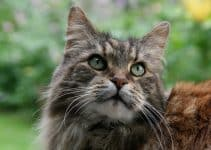 What you should be feeding your Maine Coon cat