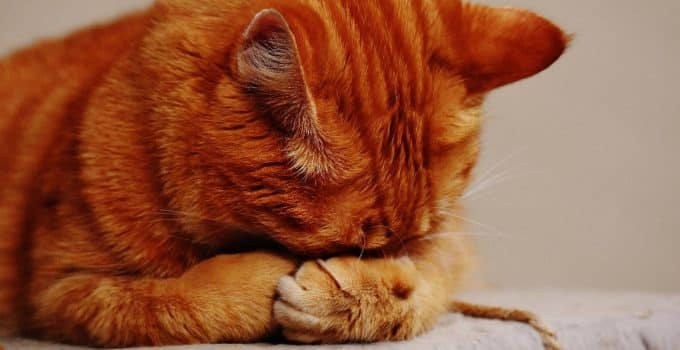 What to feed your cat when it is struggling with asthma