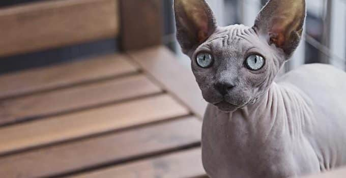 Beautiful hairless sphynx cat