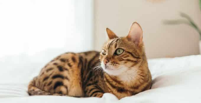 A Bengal cat looking side-ways while sitting on a bed