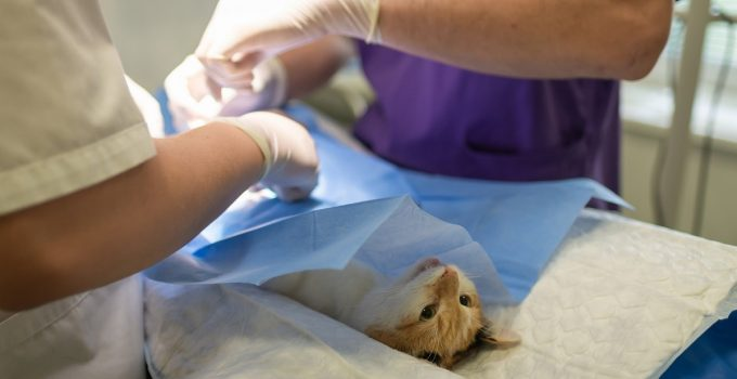 Cat with feline leukemia getting treated at a veterinary clinic