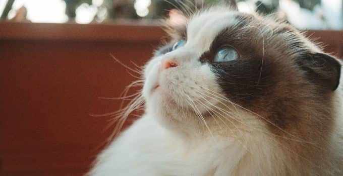 Best Litter Boxes for Ragdoll Cats