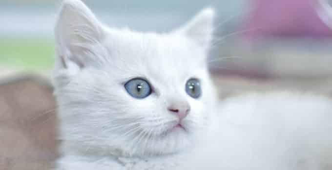 white kitten inside the litter box