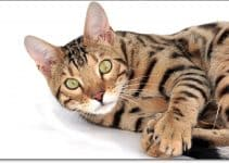 Best Toys for Bengal Cats