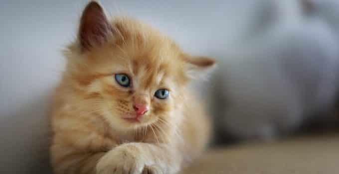 light brown kitten