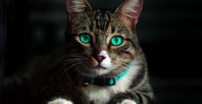 Black brown cat with green eyes