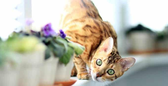 Best Dry Food for Bengal Cats
