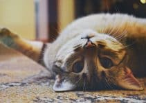 Best Home Carpet for Cat Owners