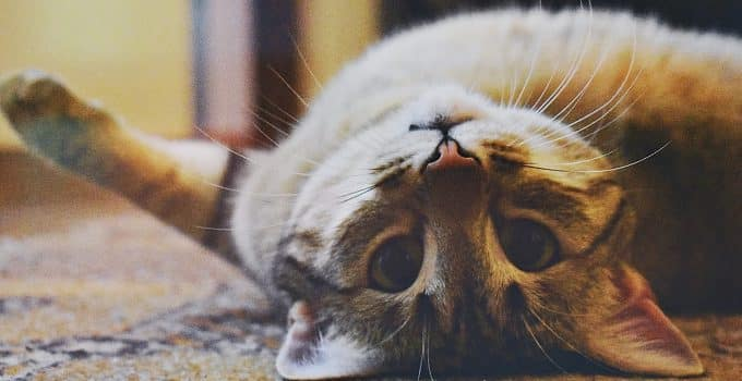 Best types of home carpet for cat owners