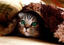 tabby cat hiding under a carpet