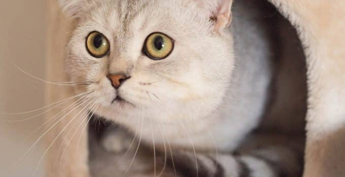 White cat peeking out of her covered litter box