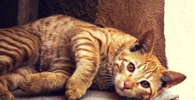 A light brown tabby cat